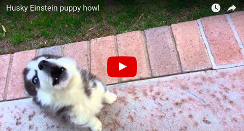 Husky Puppy's Heartwarming Howl [VIDEO: 6 SECONDS]