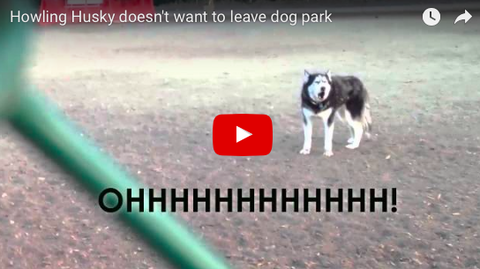 Husky Clearly Doesn't Want To Leave Dog Park [VIDEO]