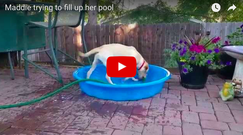 Dog Attempts To Fill The Pool On Her Own [VIDEO]