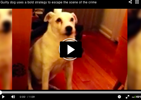 Guilty Dog Pulls Hilarious Move! [FUNNY VIDEO]