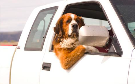 Driving With Your Dog in the Carpool Lane - Legal or Not? [INFO]