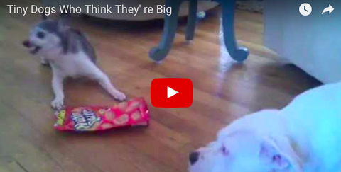 The Biggest of the Smallest Dogs [VIDEO Compilation]