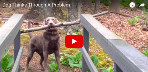Dog Sees Problem, Then Finds Solution [VIDEO]