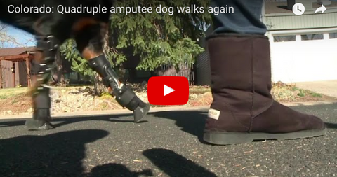 Rottweiler Can Walk Again Due to Prosthetic Limbs [NEWS]
