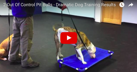 Trainer Does Amazing Work With Two Pitbulls! [VIDEO]