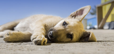 5 Ways Dogs Show Pain