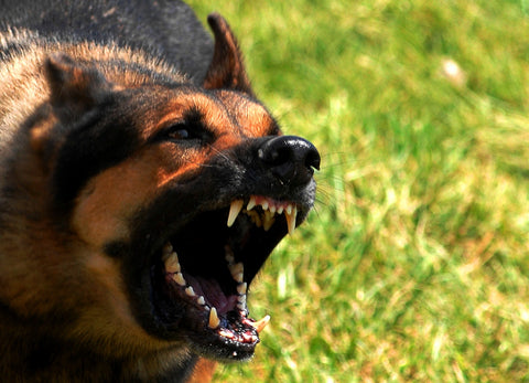 German Shepherd Angry