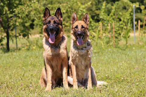 German Shepherd Friends