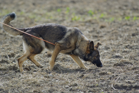 German Shepherd Tracking Pictures