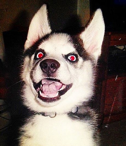 siberian husky puppy crazy face