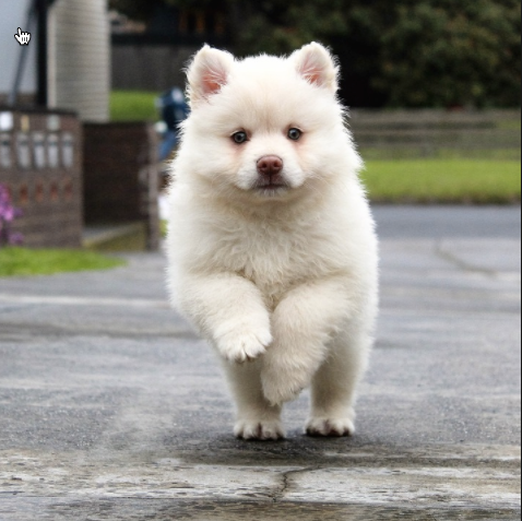 Young Puppy Running