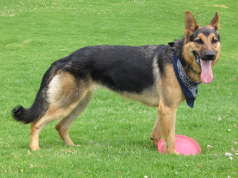 SportLeash German Shepherd Dog Most Popular Breed