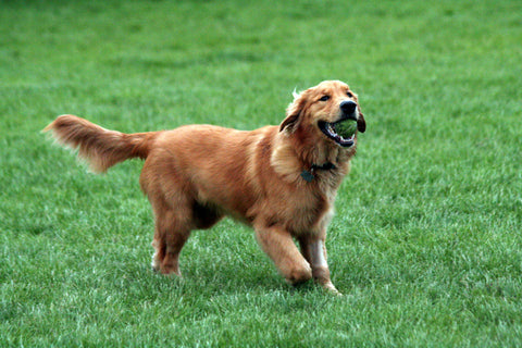 SportLeash Golden Retriever Dog Most Popular Breed