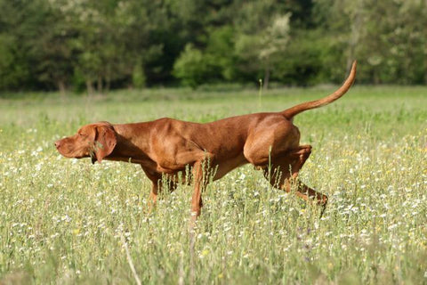 Vizsla Dog Picture