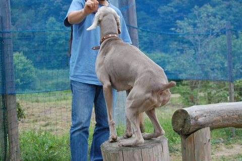 Weimaraner Dog Trick Training