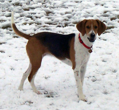 american foxhound virginia state dog