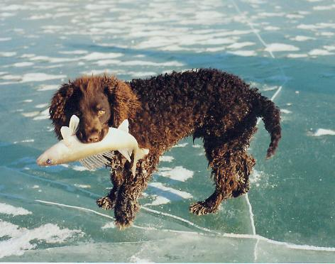 wisconsin state dog american water spaniel