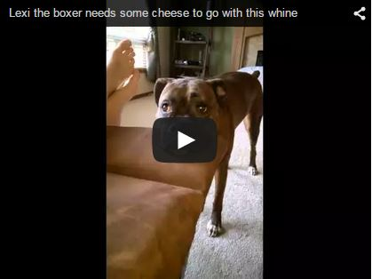 boxer dog whines for attention and its funny and cute