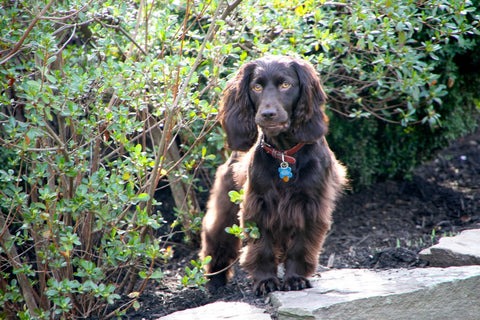 state dog boykin spaniel south carolina