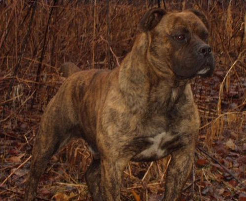 brindle pit bull awesome pic