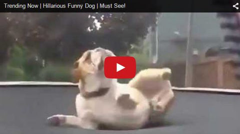 bulldog jumping and flipping on trampoline