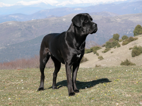 awesome black dog mastiff
