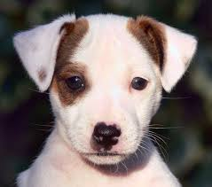 cute puppy jack russell puppy