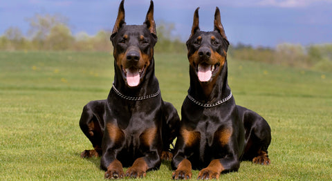 beautiful doberman picture