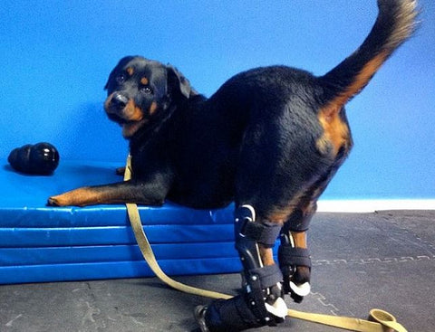 quadruple amputee dog can walk again