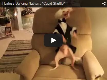dog dancing on chair cupid shuffle