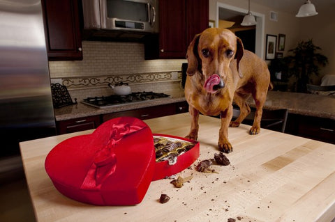 dog eating chocolate valentines day