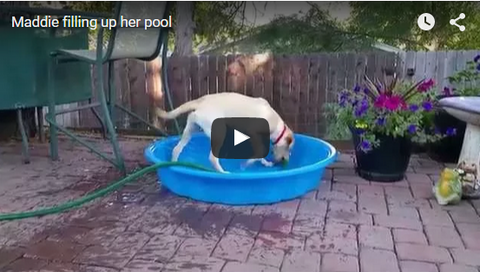 dog tries to fill up pool on her own