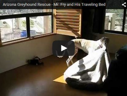 greyhound dog moves bed into sun to sleep