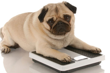 dog obesity overweight health issues for dogs