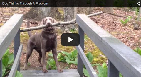 dog thinks through problem and finds solution