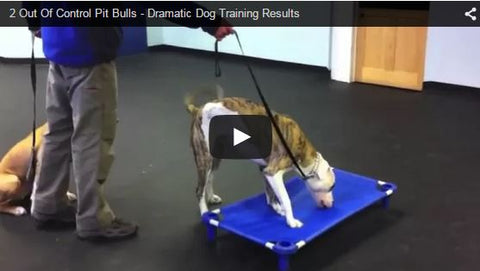 dog trainer trains crazy pit bulls