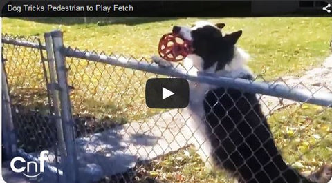 dog tricks stranger into playing fetch