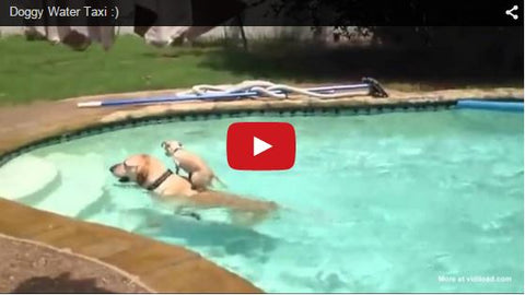 little dog uses big dog as water taxi across pool
