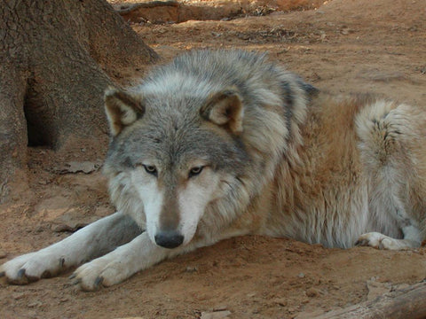 adult wolf dog hybrid image