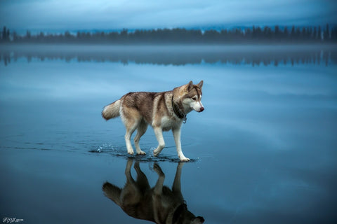 fox grom husky walking on water image 1