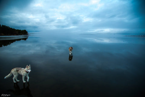 fox grom husky walking on water image 4