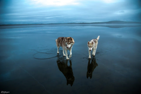 fox grom husky walking on water image 5