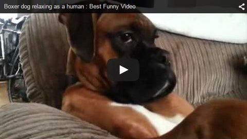 funny boxer dog sitting on couch like person