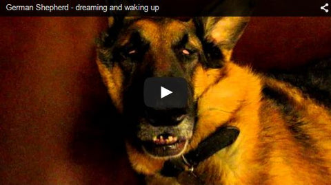 german shepherd dreaming and waking up to owner filming him