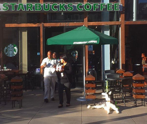 siberian husky sitting in front of starbucks