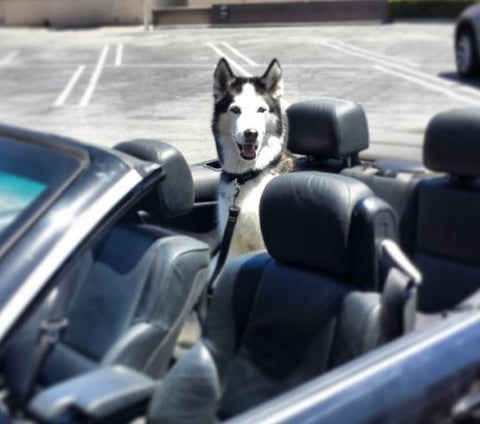siberian husky smiling in convertible car