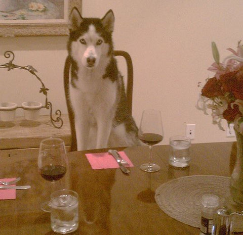 siberian husky sitting in chair at dinner table like person