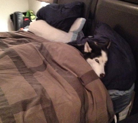 siberian husky sleeping under the covers like person