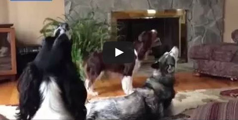 husky teaching other dogs how to howl
