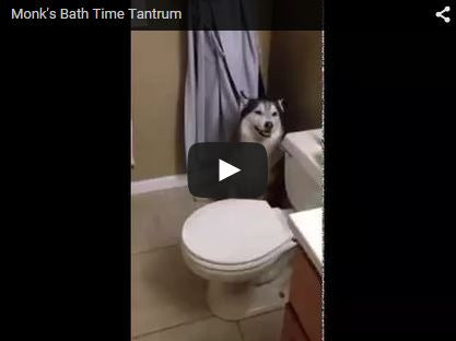 siberian husky throws temper tantrum before bath time